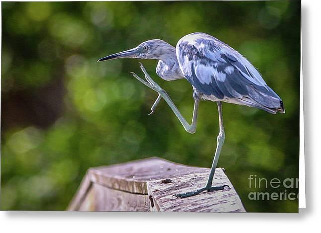 Juvenile Little Blue Heron Greeting Card