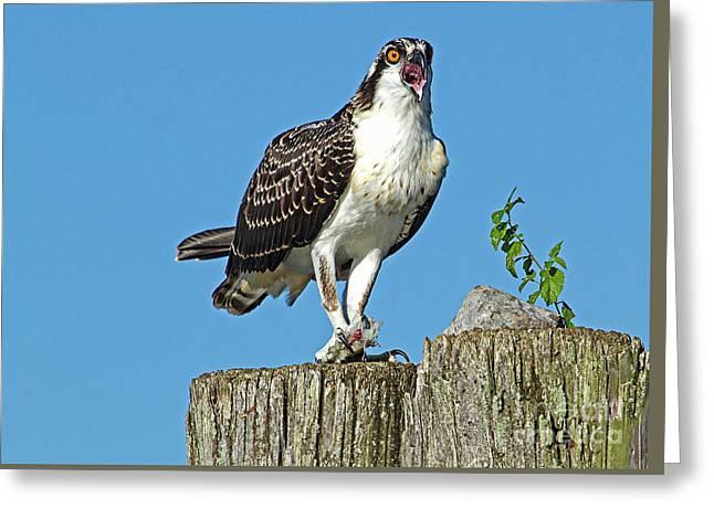 Juvenile Osprey#1 Greeting Card by Geraldine DeBoer