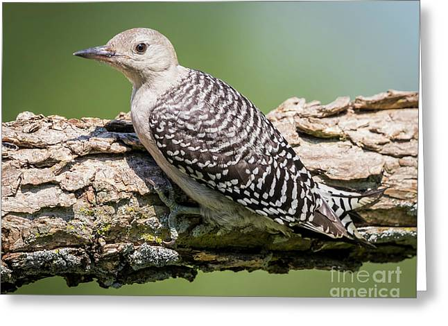 Juvenile Red-bellied Woodpecker Greeting Card