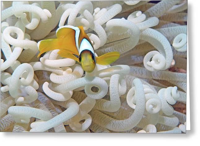 Juvenile Red Sea Clownfish, Eilat, Israel 3 Greeting Card