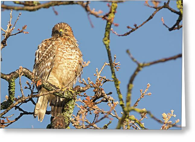 Juvenile Red-shouldered Hawk Greeting Card by Loree Johnson
