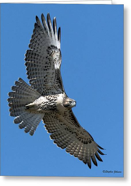 Juvenile Red-tailed Hawk At Riverside Cemetery Greeting Card by Stephen  Johnson