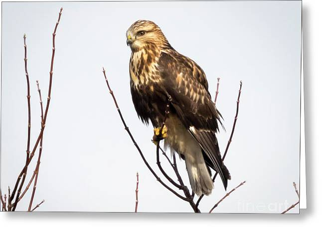 Juvenile Rough-legged Hawk  Greeting Card by Ricky L Jones