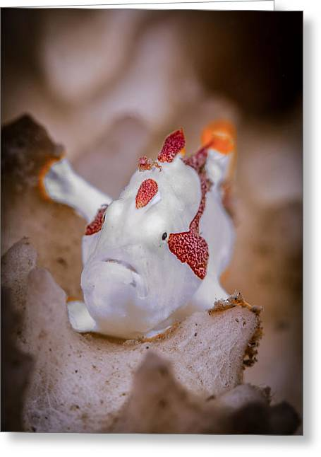 Juvenile Warty Frogfish Greeting Card