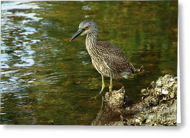 Juvenile Yellow Crowned Night Heron Greeting Card by Christiane Schulze Art And Photography
