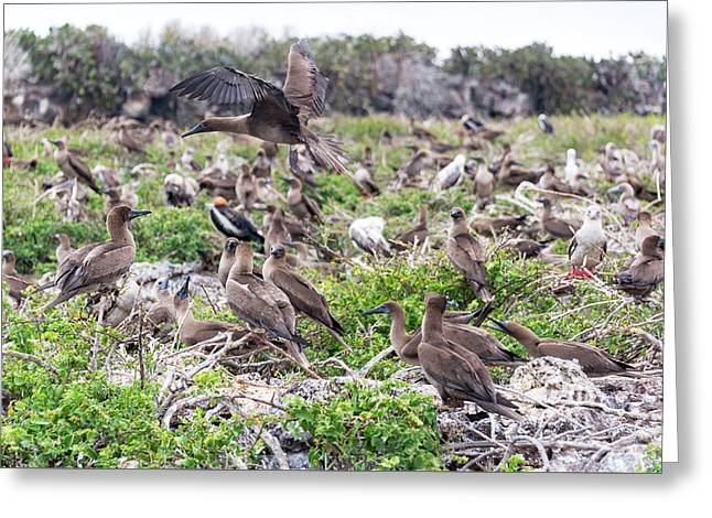 Juveniles Red Footed Boobies Greeting Card