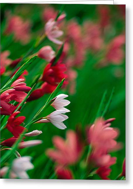Kaffir Lily Flowers In Bloom Greeting Card by Panoramic Images