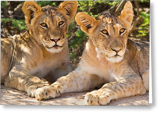 Kalahari Lion Cubs Greeting Card by Basie Van Zyl
