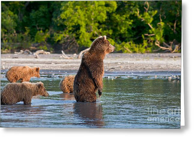 Kamchatka Brown Bear Greeting Card by Sergey  Krasnoshchekov