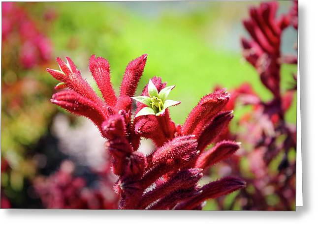 Greeting Card featuring the photograph Kangaroo Paws by Alison Frank