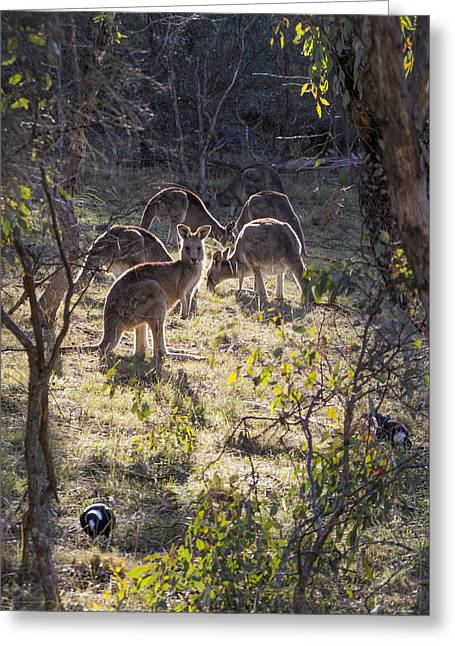 Kangaroos And Magpies - Canberra - Australia Greeting Card