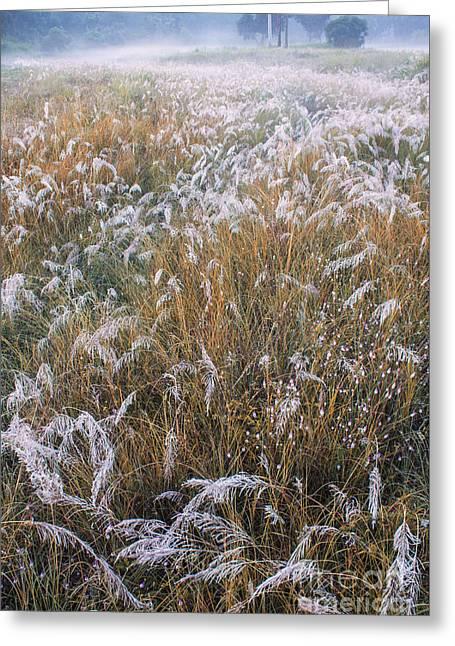 Kans Grass In Mist Greeting Card