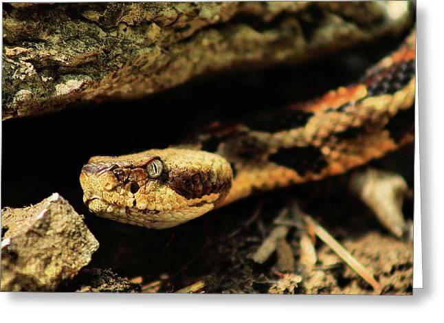 Kansas Timber Rattlesnake Closeup Greeting Card