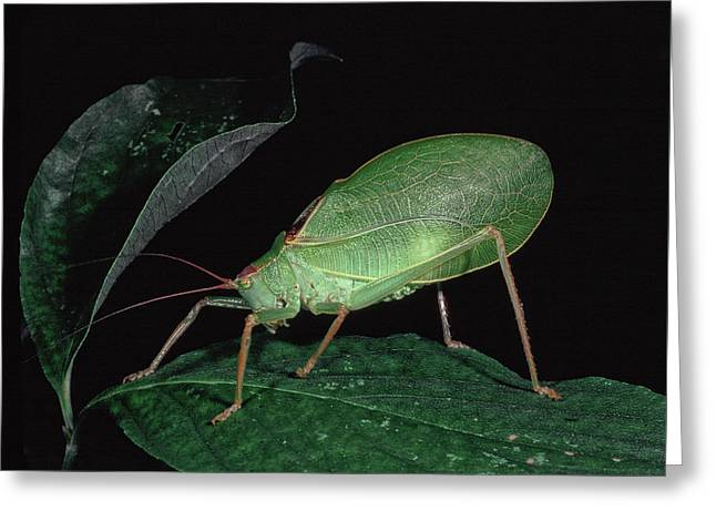 Katydid At Night Greeting Card