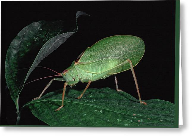Katydid At Night Greeting Card