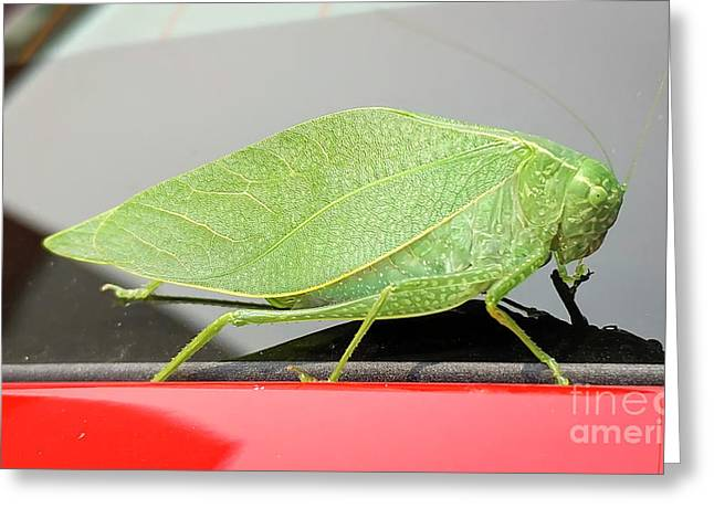 Katydids- Bush Crickets Greeting Card