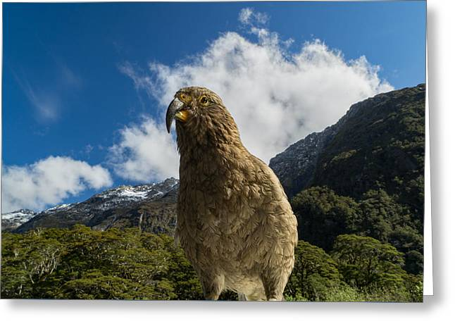 Kea Greeting Card by Ian Riddler