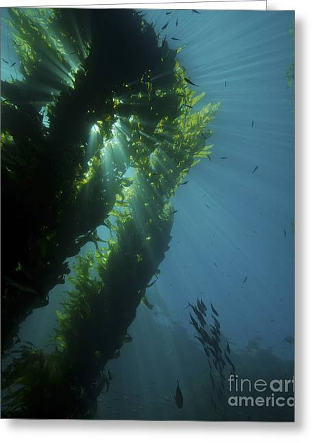 Kelp Forest With School Of Fish Greeting Card by Brent Barnes