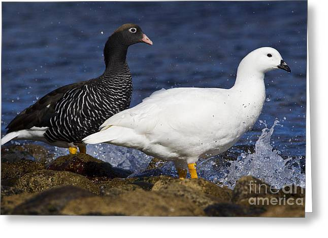 Kelp Geese Greeting Card by Jean-Louis Klein & Marie-Luce Hubert