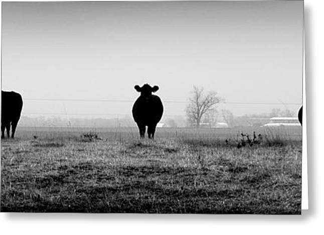 Kentucky Cows Greeting Card by Todd Fox