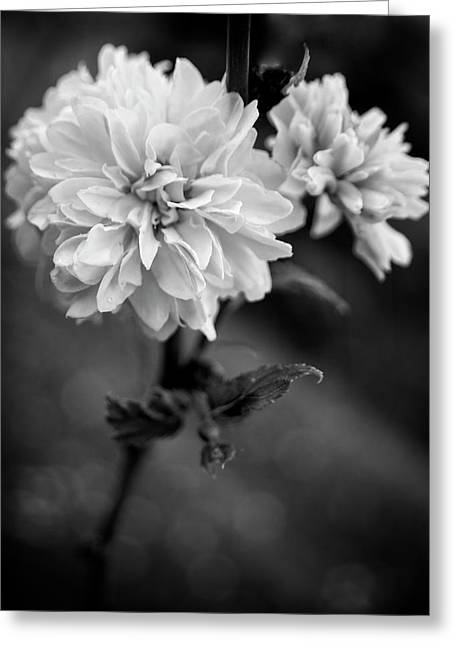 Kerria In Black And White Greeting Card by Chrystal Mimbs