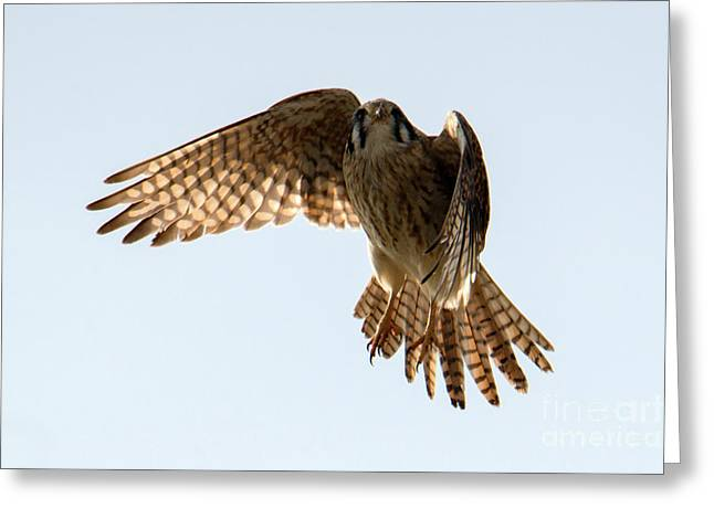 Greeting Card featuring the photograph Kestrel Hover by Mike Dawson