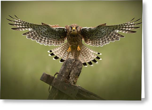 Editorial Greeting Cards - Kestrel on Final Approach Greeting Card by Andy Astbury