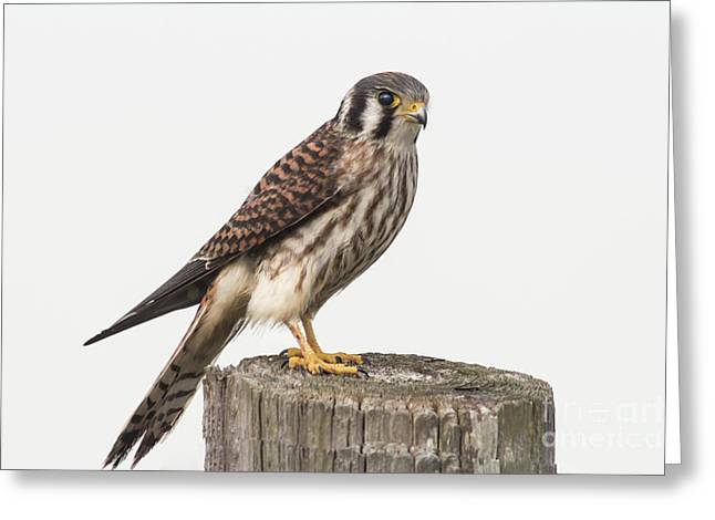 Greeting Card featuring the photograph Kestrel Portrait by Robert Frederick