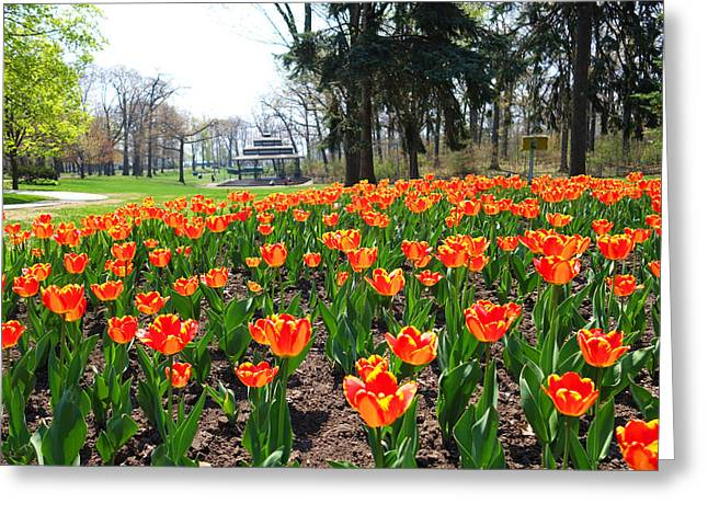 Kew Garden Tulips Greeting Card by Toby McGuire