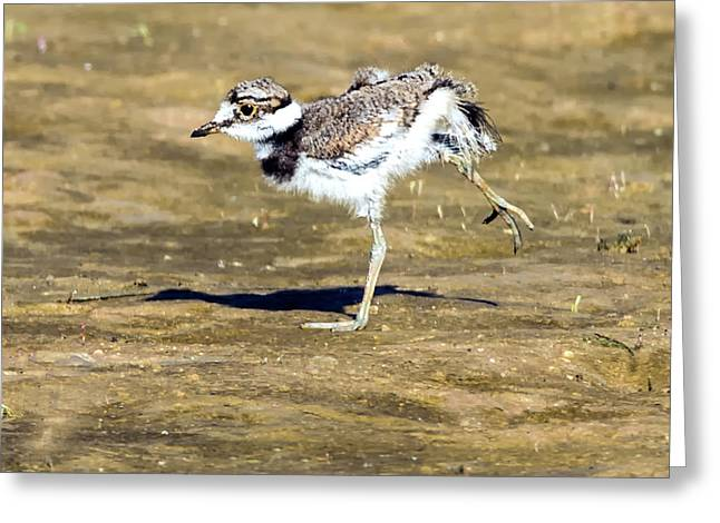 Kildeer Chick Greeting Card by Tam Ryan