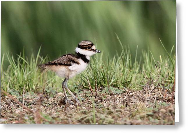 Killdeer - 24 Hours Old Greeting Card by Travis Truelove