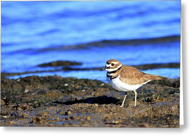 Killdeer Greeting Cards - Killdeer . 40D4101 Greeting Card by Wingsdomain Art and Photography