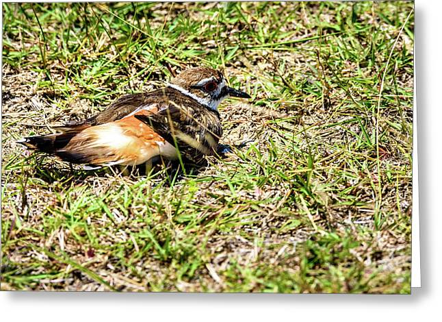 Killdeer Doing Broken Wing Display Greeting Card