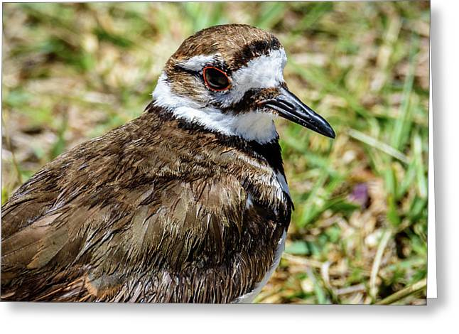 Killdeer Profile Greeting Card