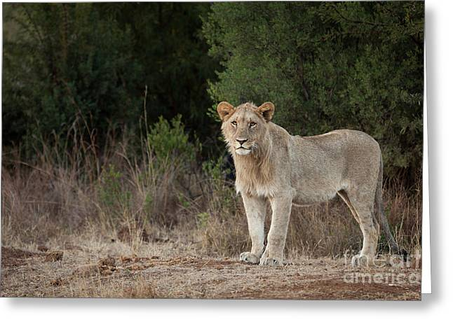King Of The Jungle In Training Greeting Card by Pippa Dini