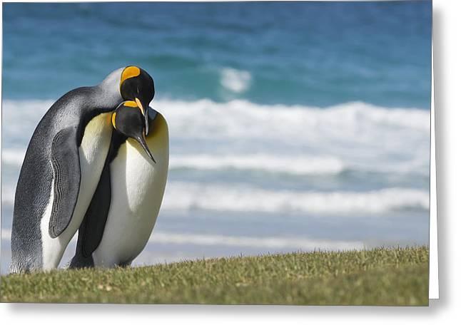 King Penguins Courting  Aptenodytes Greeting Card