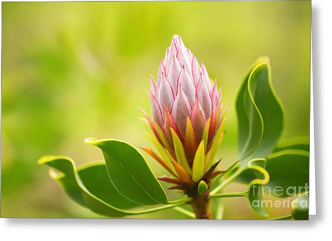King Protea Bud Greeting Card by Ron Dahlquist - Printscapes