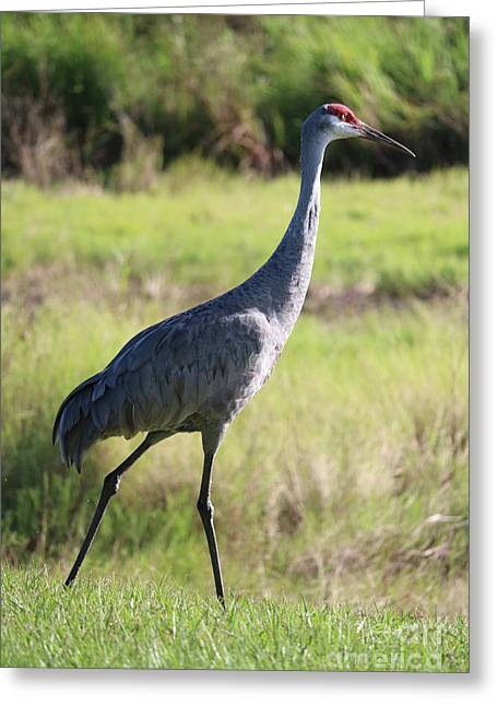 King Sandhill Greeting Card by Carol Groenen