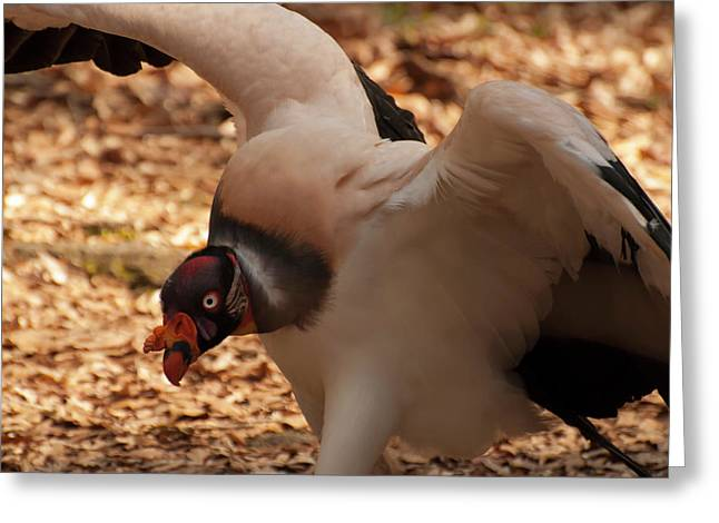 King Vulture 1 Greeting Card by Chris Flees