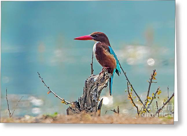 Kingfisher On A Stump Greeting Card by Pravine Chester
