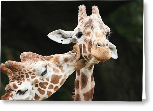 Kissing Giraffes Greeting Card