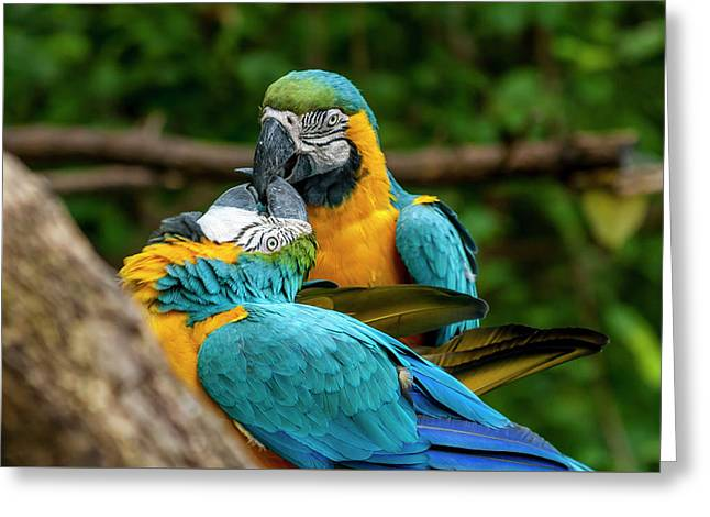 Kissing Parots Greeting Card