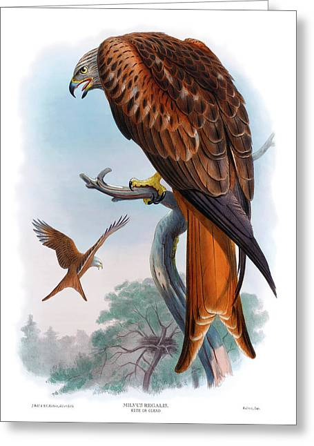 Kite Or Glead Hawk Antique Bird Print Birds Of Great Britain  Greeting Card by Orchard Arts