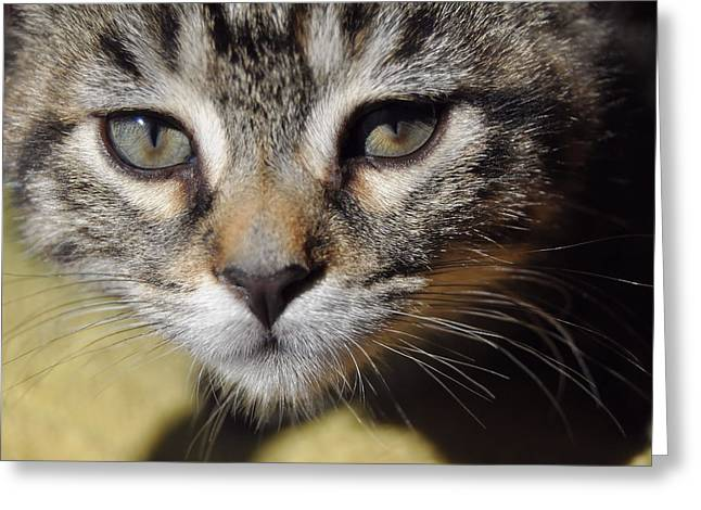 Kitten Curiosity Greeting Card by JAMART Photography