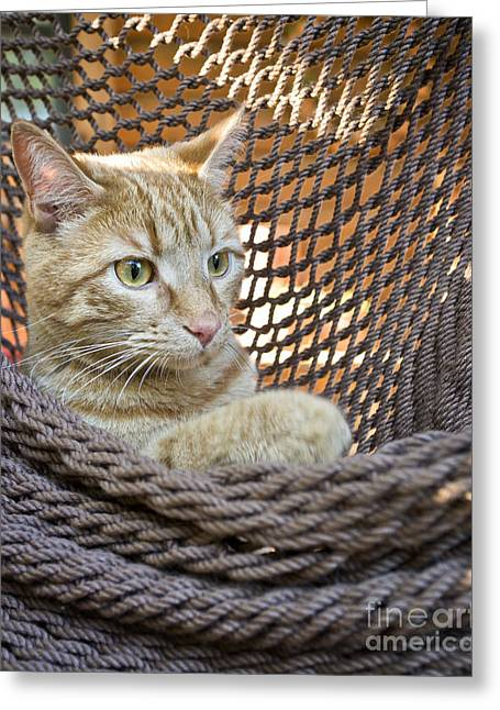 Kitten In A  Hammock Greeting Card