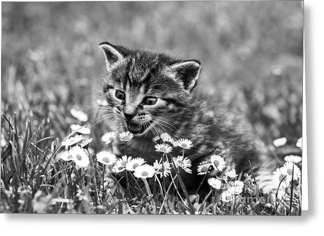 Kitten With Daisy's Greeting Card