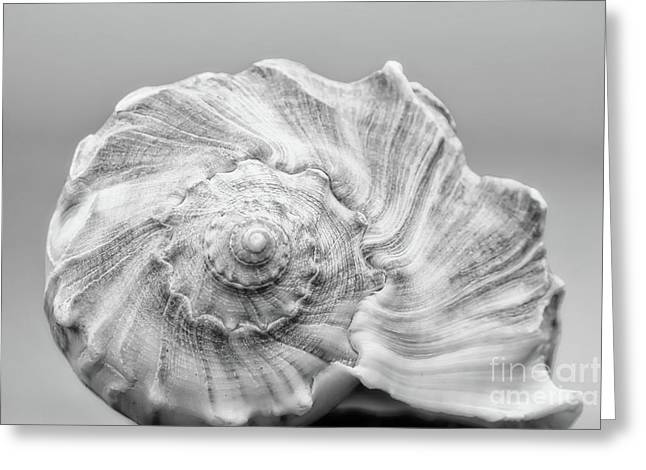 Knobbed Whelk Greeting Card