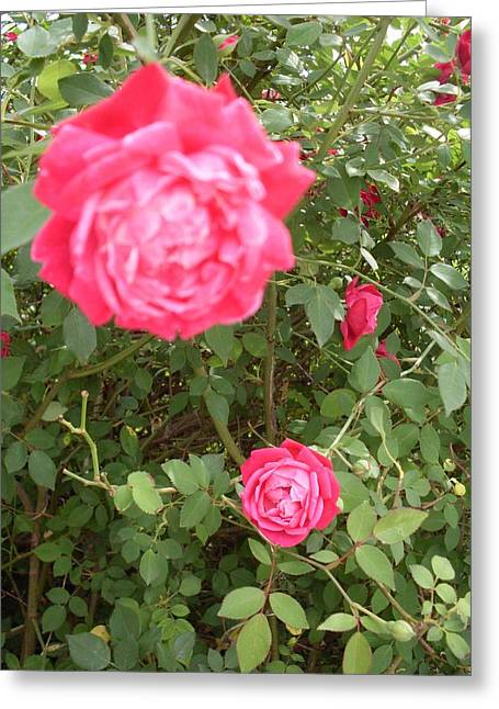 Knockout Roses Greeting Card by Warren Thompson