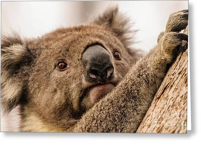 Koala 3 Greeting Card