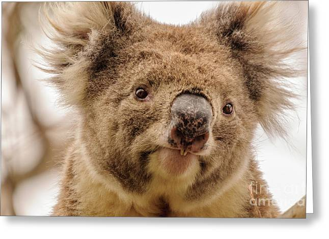 Koala 4 Greeting Card by Werner Padarin